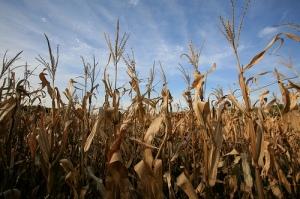 Dying Amwell Corn Stalks Photo By aturkus