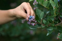 Hand Picking Blueberries Photo By lepiaf.geo